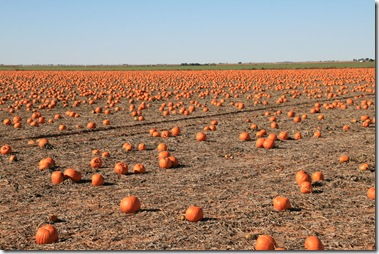Now This is a Pumpkin Patch