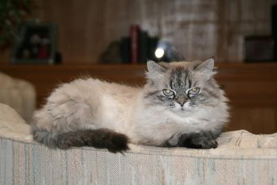 Kitty the Lap Cat