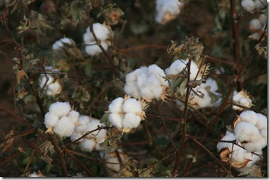 Cotton-Stripping Time in West Texas